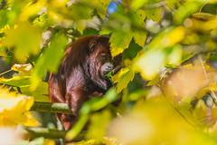 Im Baum versteckt (DOKTOR WAUMIAU) Tags: d7200 gaiapark ishootraw niederlande nikon sigma150600c tierpark gaiazoo