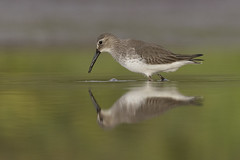 Dunlin (Calidris alpina) (SharifUddin59) Tags: dunlin calidrisalpina shorebird wader kahuku kahukuaquaponds kahukushrimpponds northshore oahu hawaii migratorybird bird reflection cloudy water feeding nature wildlife animal