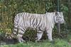 White Tiger (maclapt0p) Tags: zooparc pantheratigristigris netherlands dieren overloon nederland animals wittetijger bengaalsetijger