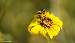 Color coordinated (Photosuze) Tags: bees pollination flowers flora wildflowers bumblebees animals nature insects bugs wildlife