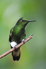 Green Hummingbird (Emma Pollock - Photos) Tags: green bird rainforest cloudforestwildlife southamerica