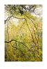 """Leafy Veil"" - Gweek, Cornwall (Joe Rainbow) Tags: joerainbow autumn leafleaves trees woodland woods cornwall landscape branches veil"