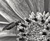 Gardensafari (hugojansen2) Tags: insect blackandwhite flower flowercrown fly eindhoven netherlands garden naturephotography naturephoto nature macrophotography macro macrophotograph mobilephotography mobilephoto huaweip10 sweets photo
