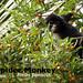 Black Spider Monkey, Ateles paniscus