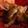 20151215_6951c (Fantasyfan.) Tags: kitten mom cat kissing abyssinian fantasyfanin
