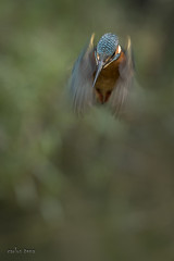 _DSC9401 (carlos tena) Tags: ave martín pescador alcedo atthis
