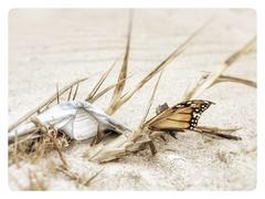 Beach finds (Fiona Katarina) Tags: macro beach sand butterfly shell sandy grass chincoteague assateague virginia iphone iphoneography iphoneographer snapseed