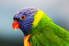 rainbow lorikeet posing (Daedalus-) Tags: bird portrait bokeh lorikeet rainbowlorikeet closeup canon canoneos80d ef100400mmf4556lisusm glowing sunlight