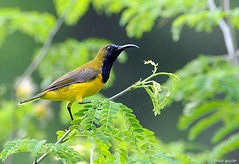 Olive-backed Sunbird (flickr quickr) Tags: nectariniajugularis olivebackedsunbird