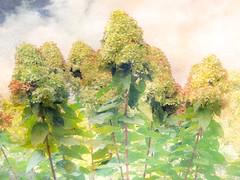 Autumn Hydrangea (jeanne.marie.) Tags: gardenflowers textured iphone7plus iphoneography sky autumn hydrangea