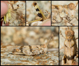Inconspicuous Grasshopper (Trimerotropis inconspicua)
