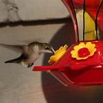Hummybird thumbnail
