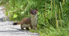 Stoat (KHR Images) Tags: stoat wild carnivorous mammal mustelid mustelidae lakenheathfen rspb suffolk eastanglia wildlife nature nikon d500 kevinrobson khrimages