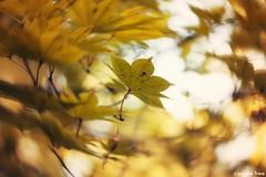 """""""Autumn (gusdiaz) Tags: fall autumn bokeh depth field canon canonphotography leaves foliage beautiful gold golden hojas otoño colorido oro dorado arboles contraluz bello bosque"""