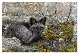 Bonavista Black Fox - explored