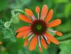coneflower 2 (foxtail_1) Tags: bridgeofflowers shelburnefalls coneflower orangeconeflower rudbeckia