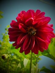 Wünsche allen ein schönes Wochenende! - I wish all of you a nice weekend! (fleckchen) Tags: dahlien dahlie dahlia dahlienblüten dahlienblüte natur blumen blüten blooms blumenblüten insekten insect insects garten freizeit sommer flower flowers korbblütler asteraceae pflanzen zierpflanze zierpflanzen plant plants ornamental