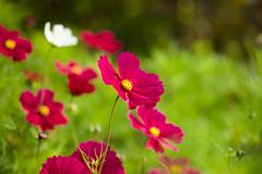 Happy Weekend (paulapics2) Tags: nature pink bright september hydehallgardens colourful flora floral fleur blümen cosmos autumn fall canoneos5dmarkiii sigma105mmf28exdgoshsmmacro depthoffield bokeh