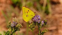 Butterfly Bordeaux (YᗩSᗰIᘉᗴ HᗴᘉS +8 500 000 thx❀) Tags: butterfly papillon nature yellow macro bordeaux france aquitaine gironde jaune 7dwf faune fauna hensyasmine