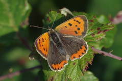 IMGP6815a Small Copper, Fen Drayton Lakes, October 2017 (bobchappell55) Tags: fendraytonlakes wild wildlife nature smallcopper lycaenaphlaeas butterfly insect