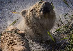 The New Shake Rattle and Roll (neil 36) Tags: enclosure yorkshire wildlife park polar bear ursus maritimus project ursidae urso ours polaire eisbär orso polare bulrushes grasslike plants