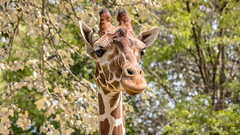 Reticulated Giraffe (spierson82) Tags: brookfieldzoo giraffacamelopardalisreticulata czs chicagozoologicalsociety habitatafrica zoo habitatafricathesavannah reticulatedgiraffe giraffe animal brookfield illinois unitedstates us animalplanet