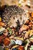 Autumn Hedgehog (tim27w) Tags: autumn october leaves fall nikon 500mmf18 bokeh wildlifeclose prick hog pig mammal ruby lens happy hibernate brown