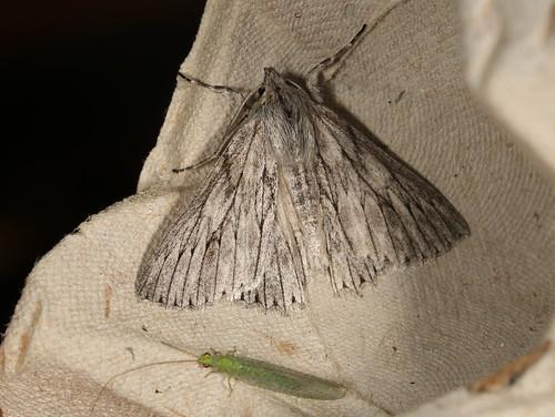 Cyneoterpna wilsoni
