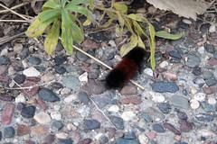 Anglų lietuvių žodynas. Žodis woolly bear caterpillar reiškia gauruotas lokys caterpillar lietuviškai.