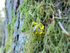 Tree resin on moss (Ruth and Dave) Tags: burnsbog naturereserve delta vancouver resin sticky yellow douglasfir trunk moss closeup