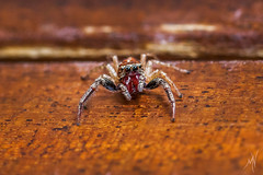 What are you looking at? (Mat Viv) Tags: canon canoneos760d canoneost6s 760d t6s eos rebel sigma105mmf28macro macro macrophotography macrolens 105mm insect tiny spider jumper details small italy tuscany lucca art fineart matteoviviani wood house eyes looking gaze