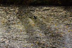 (:Linda:) Tags: germany thuringia town hildburghausen park canal leaf autumnalleaf