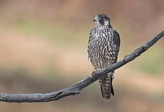 Peregrine falcon - Sitting Pretty.