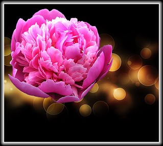 Stratford Ontario ~ Canada ~ Pink Peonies  ~ Botanical Garden