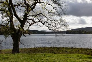 Ash tree beside Esthwaite Water