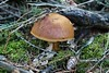 In the forest (LuckyMeyer) Tags: wald pilz marone makro braun green bay bolete forest walk