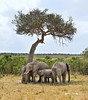 #12  Elefante Africano - Elephantidae Loxodonta Africana (José M. F. Almeida) Tags: kenya masai mara wildlife africa 2017 august reserv elefante africano elephantidae loxodonta africana quenia quênia safari