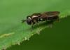 Unbestimmbare Schwebfliege (Pipizella sp.), Holzwarchetal, Ostbelgien (Frank.Vassen) Tags: syrphidae hoverfly diptera holzwarche holzwarchetal ostbelgien schwebfliege pipizella