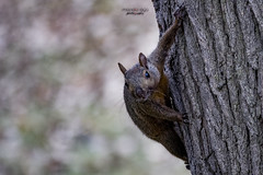 ... who's there ? (mariola aga) Tags: spencerpark park autumn tree trunk animal squirrel closeup bokeh dof coth coth5 sunrays5