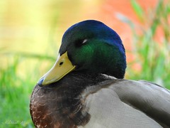 Taking a nap on Sunday... (NaturewithMar) Tags: duck macro autumn sunday 7dwf fauna