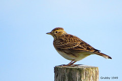 Skylark (Alauda arvensis) (grubby1949) Tags: birdwatcher skylark alaudaarvensis bird lark hover