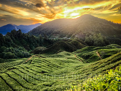Sunrise over Boh Tea Estate (whitworth images) Tags: teaplantation landscape crop teagardens cameronhighlands hilly clouds horticulture teaestate southeastasia camellia green pahang asia highlands nature dawn hills steep tea plantation malaysia morning orange sky early sunrise colonial scenic camelliasinensis outdoors sun agriculture yellow tanahrata valley