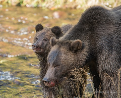 ND5_4924.jpg Look Mom-People (Wayne Duke 76) Tags: mother cub grizzlies mammals bears fur wildlife animals