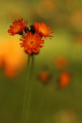 Fox & Cubs (Derbyshire Harrier) Tags: pilosellaaurantiaca autumn northerngeneral 2017 sheffield firvale urban city orange october foxcubs hawkweed hospital explore explored