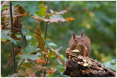 Red Squirrel - Eekhoorn (Sciurus vulgaris) ..... (Martha de Jong-Lantink) Tags: 2017 boshutclinge clinge eekhoorn gewoneeekhoorn redsquirrel rodeeekhoorn sciurusvulgaris stichtinghetzeeuwselandschap zeeland