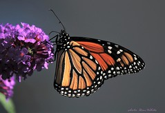 monarch (don.white55 That's wild...) Tags: monarchdanausplexippus butterfly insect canoneos70d nature animal wildlife thatswildnaturephotography kindly tag fantasticnatureb ioo faves 100faves