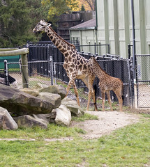 Cleveland Metroparks Zoo 11-11-2014 - Giraffe 5 (David441491) Tags: masaigiraffe firaffe clevelandmetroparkszoo foal