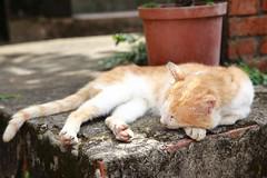 Sleeping Cat (superzookeeper) Tags: 5dmk4 5dmkiv canoneos5dmarkiv ef2470mmf28liiusm eos digital taiwan hsinchu tw formosa beipu cat catsofflickr catsoftaiwan catsofbeipu zzz sleep sleeping nap sleepingcat oldtownbeipu oldtown bokeh free freedom street catnap