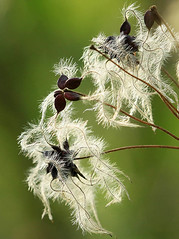 Clematis seeds (lotusblancphotography) Tags: nature plants plantes flower fleur seeds graines