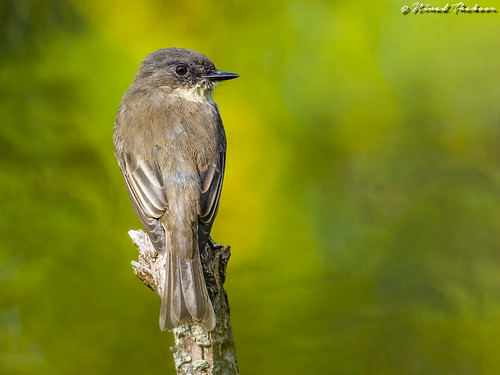 """Eastern Phoebe • <a style=""""font-size:0.8em;"""" href=""""http://www.flickr.com/photos/59465790@N04/37535786866/"""" target=""""_blank"""">View on Flickr</a>"""